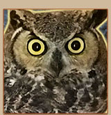 Young and Skinny Great Horned Owl