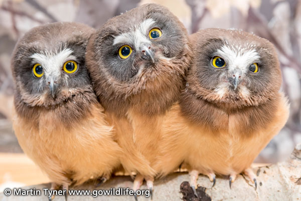 Saw-whet Owls Three Babies