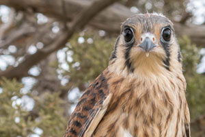 Young Female Kestral Falcon