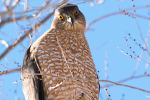 Adult Coopers Hawk