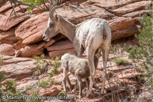 Desert Bighorn Momma and Baby