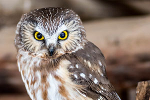 Saw-whet Owl Adult