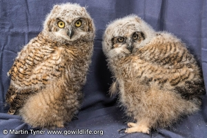 Two Baby Great Horned Owls