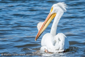 White Pelican at Minersville Reservoir