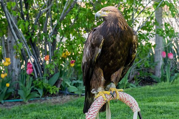Scout the Golden Eagle
